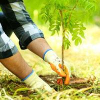Саженец дерева
