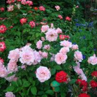 Сад роз